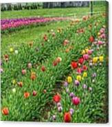 Come See Tulips  Canvas Print