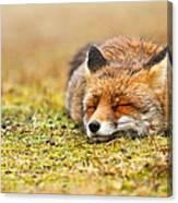 Comfortably Fox Canvas Print