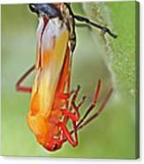 Coming Of Age - Large Milkweed Bug - Oncopeltus Fasciatus Canvas Print