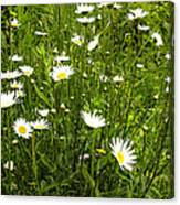 Coming Up Daisy's Canvas Print