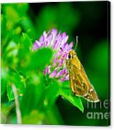 Common Banded Skipper Canvas Print