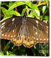 Common Birdwing Butterfly Canvas Print