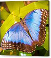 Common Blue Morpho Canvas Print