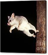 Common Brush-tailed Possum Canvas Print