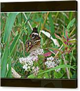 Common Buckeye Butterfly - Junonia Coenia Canvas Print