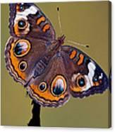 Common Buckeye Precis Coenia Canvas Print