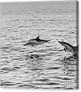 Common Dolphins Leaping. Canvas Print