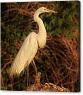 Common Egret Of Palestine Lake Canvas Print