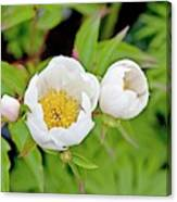Common Garden Peony (paeonia Lactiflora) Canvas Print