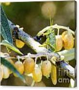 Common Grasshopper Canvas Print