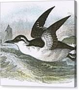 Common Guillemot Canvas Print