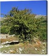 Common Hawthorn (crataegus Monogyna) Canvas Print