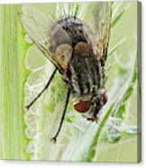Common House Fly 0.9x Canvas Print