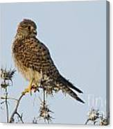 Common Kestrel Falco Tinnunculus 3 Canvas Print