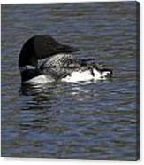Common Loon 39 Canvas Print