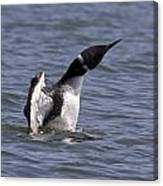 Common Loon 75 Canvas Print
