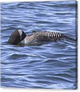 Common Loon Fishing Canvas Print