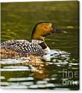 Common Loon Pictures 145 Canvas Print