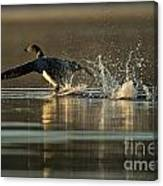Common Loon Pictures 152 Canvas Print