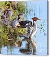 Common Merganser Family 2a Canvas Print