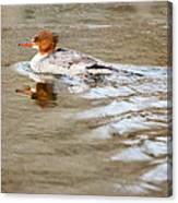 Common Merganser Hen Canvas Print