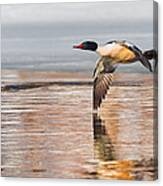 Common Merganser In Flight Canvas Print