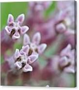 Common Milkweed Canvas Print