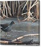 Common Moorhen Iced Lake Canvas Print