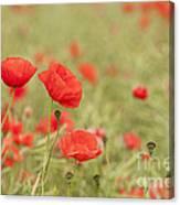 Common Poppies Canvas Print