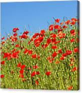 Common Poppy Flowers  Canvas Print