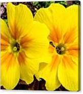 Common Primrose 1 Canvas Print