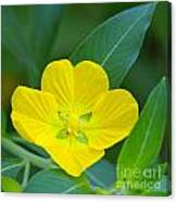 Common Primrose Willow 1 Canvas Print
