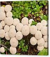 Common Puffball Mushrooms Lycoperdon Perlatum Canvas Print
