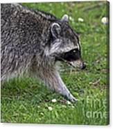 Common Raccoon Canvas Print