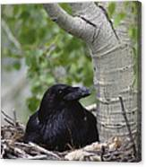 Common Raven Incubating Eggs In Nest Canvas Print