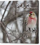 Common Redpoll - Sizerin Flamme - Acanthis Flammea Canvas Print