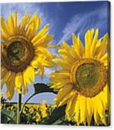 Common Sunflower Field Canvas Print