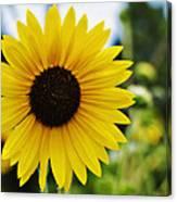 Common Sunflower Canvas Print