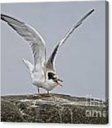 Common Tern Pictures 34 Canvas Print