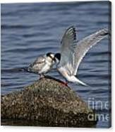 Common Tern Pictures 48 Canvas Print