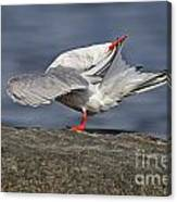 Common Tern Pictures 51 Canvas Print