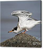 Common Tern Pictures 67 Canvas Print