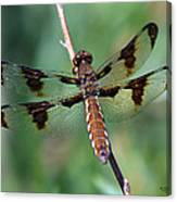 Common White-tail Dragonfly Canvas Print