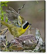 Common Yellowthroat Canvas Print