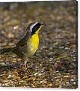 Common Yellowthroat Canvas Print