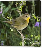 Common Yellowthroat Hen Canvas Print
