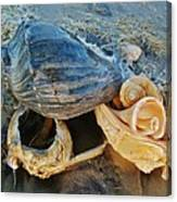 Conch Shells Hatteras 5 10/17 Canvas Print