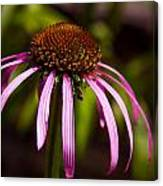 Cone Flower 2 Canvas Print