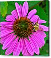 Cone Flower An Bumble  Canvas Print
