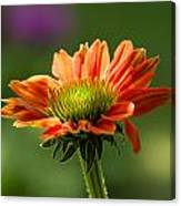 Cone Flower Canvas Print